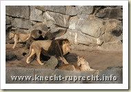 ... und nervöse Löwen